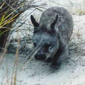 Southern hairy nosed wombat on the beach