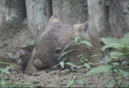 Wombat Emerging From Its Burrow