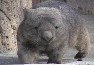 Wombat Walking