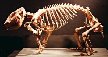 Bare-nosed wombat skeleton