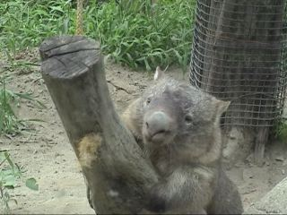Wombat playing with a swinging log