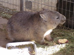 Captive wombat eating a seet potato