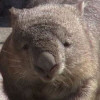 Common wombat pic