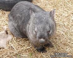 Australian Bare Nosed Wombat (Henry) thumbnail