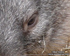 Bare Nosed Wombat Eye thumbnail