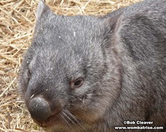 Bare Nosed Wombat Head (Henry) thumbnail