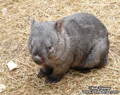 Bare Nosed Wombat Picture (Henry) thumbnail