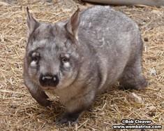 Australian Hairy Nosed Wombat thumbnail