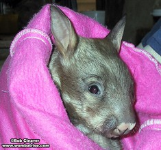 Baby Wombat In An Artificial Pouch thumbnail