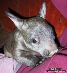 Baby Wombat thumbnail
