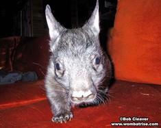 Cute Wombat thumbnail