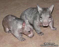 Cute Wombats thumbnail