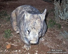 Female Hairy Nosed Wombat thumbnail