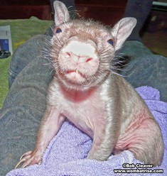 Hairy Nosed Baby Wombat (Ivy) thumbnail