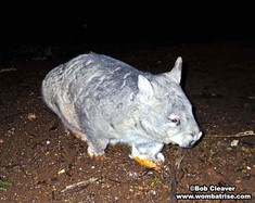 Hairy Nosed Wombat at Night thumbnail