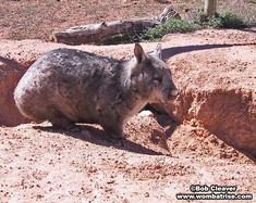 Hairy Nosed Wombat Beside Her Burrow thumbnail