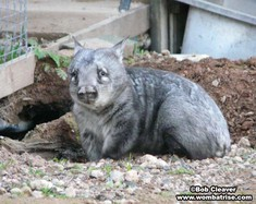 Hairy Nosed Wombat Digging thumbnail