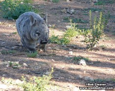 Hairy Nosed Wombat Exploring thumbnail