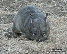 Hairy Nosed Wombat Foraging thumbnail