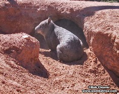 Hairy Nosed Wombat Guarding Her Burrow thumbnail