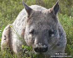 Hairy Nosed Wombat Head (Serl) thumbnail