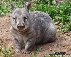 Hairy Nosed Wombat Image thumbnail