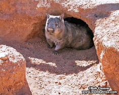 Hairy Nosed Wombat In Her Burrow thumbnail