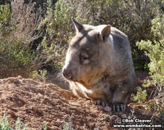 Hairy Nosed Wombat In The Bush thumbnail