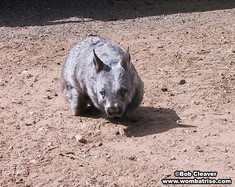 Hairy Nosed Wombat In The Dirt thumbnail
