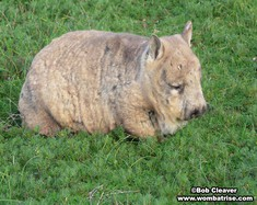 Hairy Nosed Wombat In The Grass thumbnail