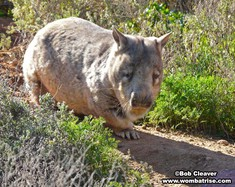 Hairy Nosed Wombat In The Sunshine thumbnail