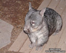 Hairy Nosed Wombat In The Yard (Ivy) thumbnail