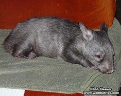 Hairy Nosed Wombat (Ivy) at 9 5kg thumbnail