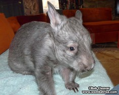 Hairy Nosed Wombat (Ivy) thumbnail