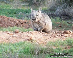 Hairy Nosed Wombat (Joe) at His Burrow thumbnail