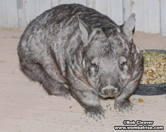 Hairy Nosed Wombat (Joe) Eating thumbnail