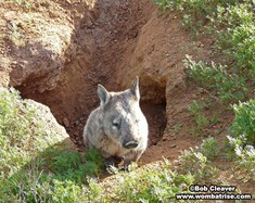 Hairy Nosed Wombat (Joe) Emerging From His Burrow thumbnail