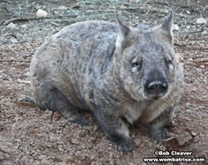 Hairy Nosed Wombat (Joe) Outside thumbnail