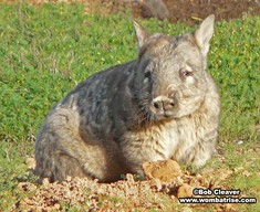 Hairy Nosed Wombat (Joe) thumbnail