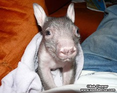 Hairy Nosed Wombat Joey thumbnail