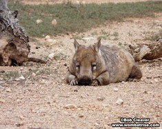 Hairy Nosed Wombat Lying On The Ground thumbnail