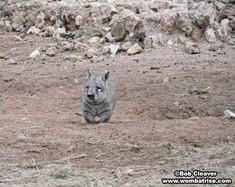 Hairy Nosed Wombat Near Its Burrow thumbnail
