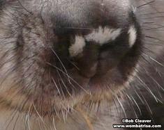 Hairy Nosed Wombat Nose Closeup thumbnail