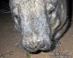 Hairy Nosed Wombat Nose thumbnail