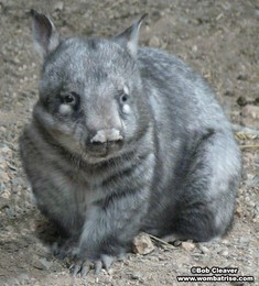 Hairy Nosed Wombat Outside (Ivy) thumbnail