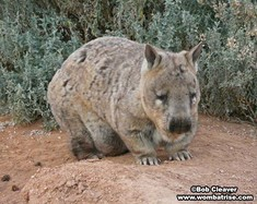 Hairy Nosed Wombat Photo thumbnail