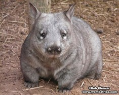 Hairy Nosed Wombat Photograph thumbnail