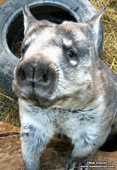 Hairy Nosed Wombat Picture Close Up thumbnail