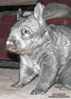 Hairy Nosed Wombat Picture thumbnail