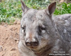 Hairy Nosed Wombat Portrait thumbnail